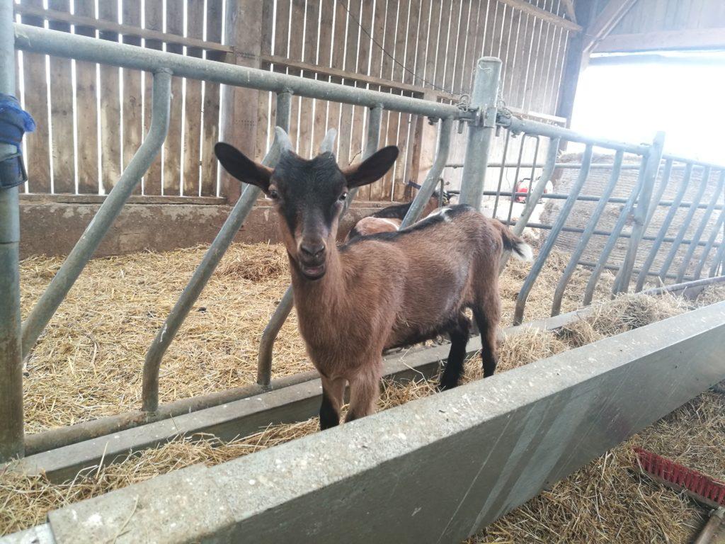 chèvre kervihan