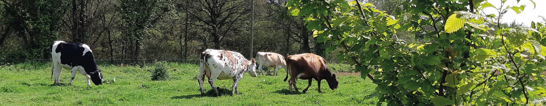 vaches pré de kervihan