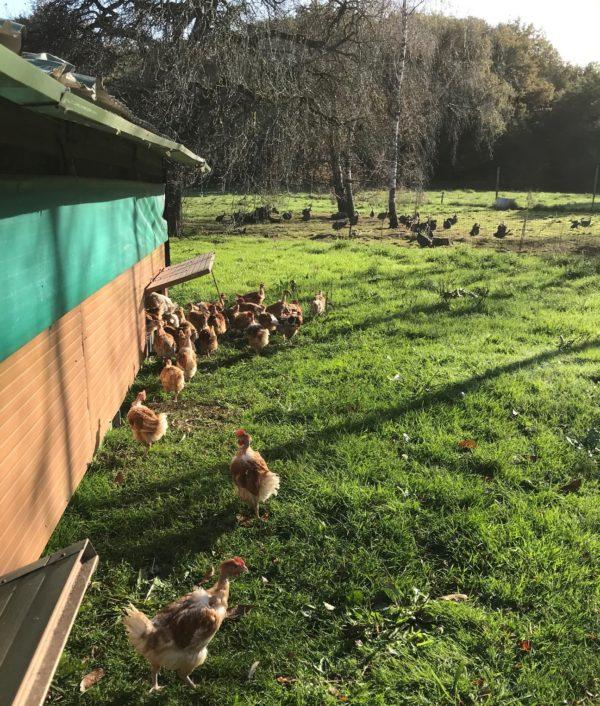 poulet plein air fermier