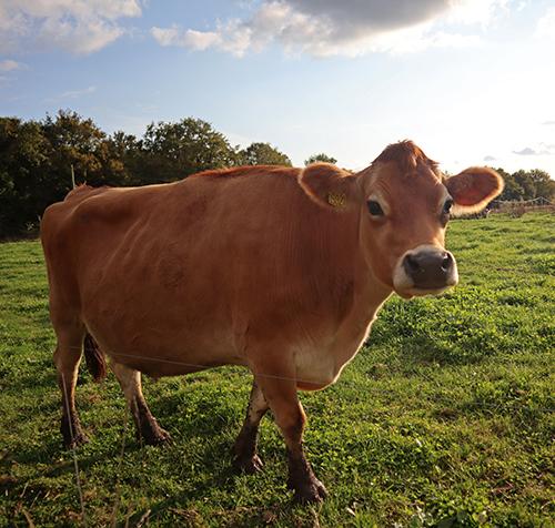 élevage de vaches Bio Le P'tit Fermier de Kervihan